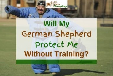 Will My German Shepherd Protect Me Without Training?